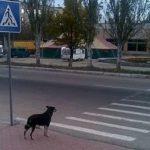 Видели, что бездомные собаки переходят дорогу только по «зебре»? Решил разобраться, почему